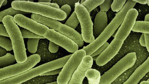 Les bactéries, des alliés de tailles